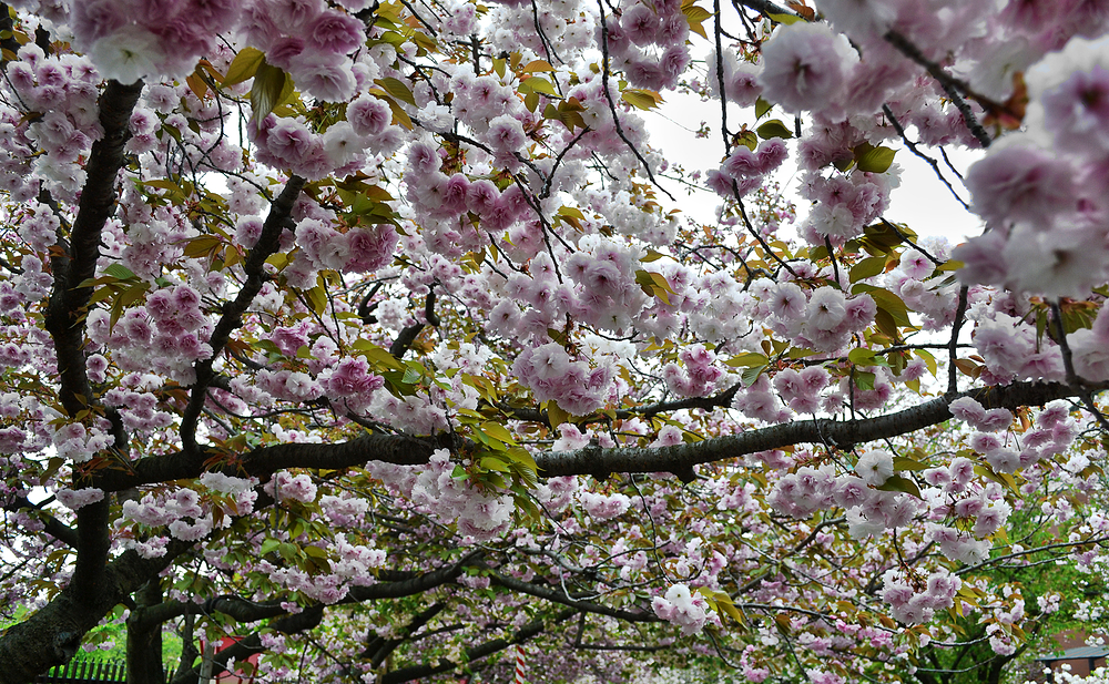 osaka japan osaka-mint sakura tree blossom