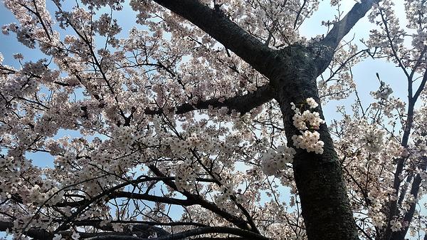 ushimado okayama japan sakura tree blossom
