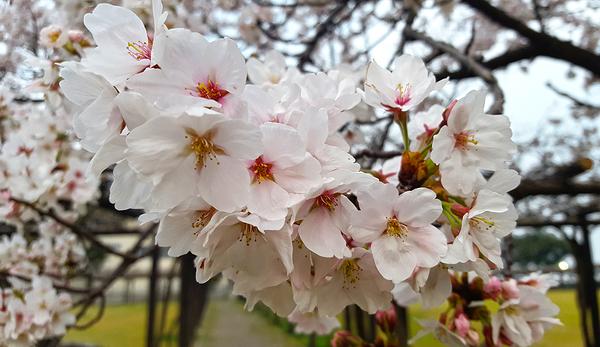 okayama japan tamaño shibukawa sakura blossom