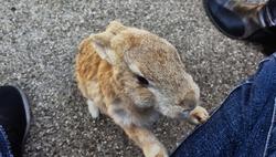 hiroshima japan rabbit okunoshima