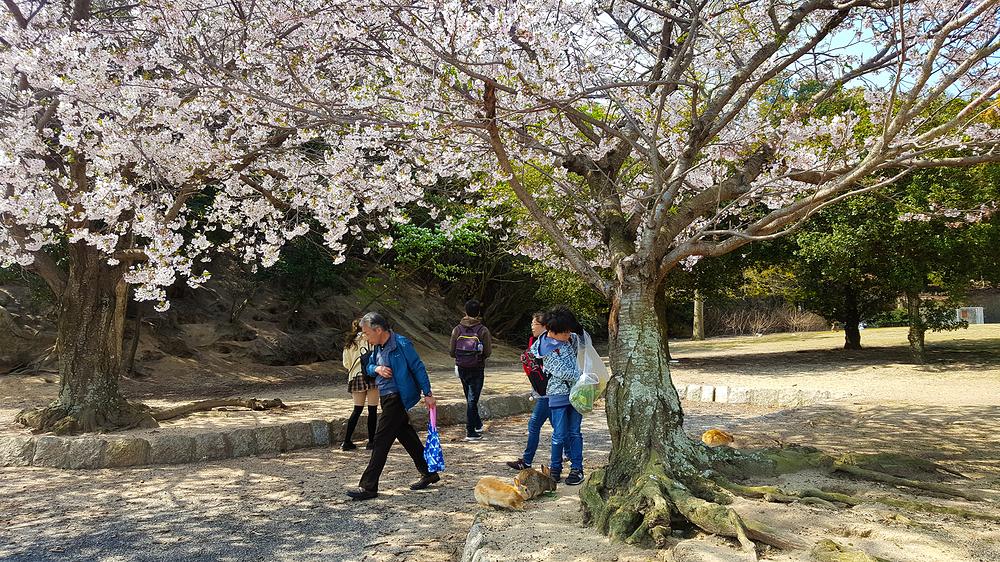 hiroshima japan rabbit okunoshima sakura blossom t