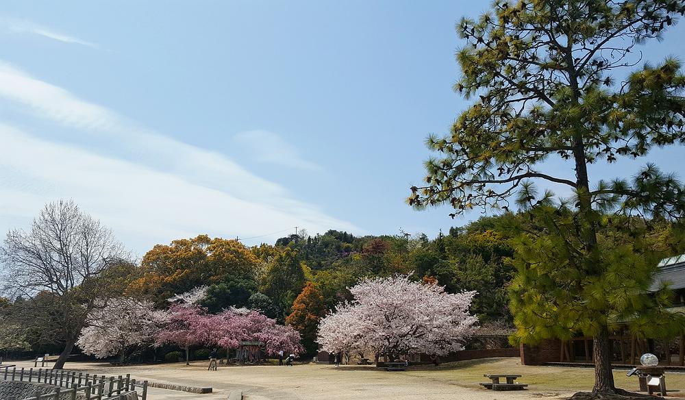 hiroshima japan okunoshima sakura blossom tree