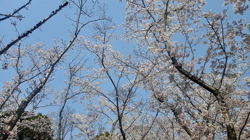 sakura blossom kobe japan shiawase-no-mura