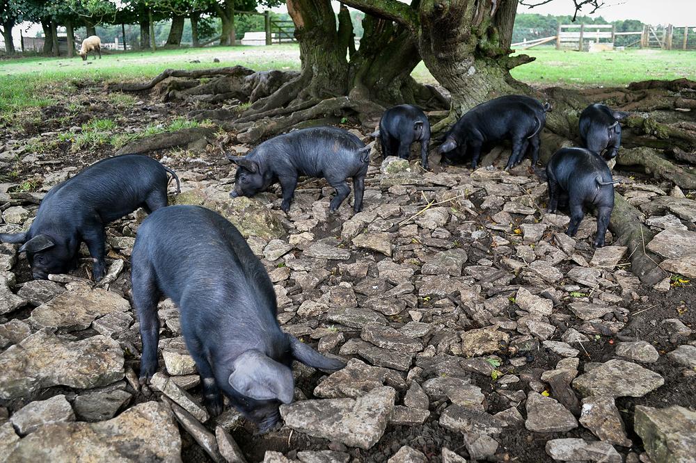 cotswolds england cotswolds-farm-park farm pig