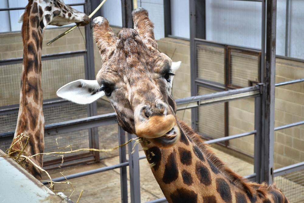 cotswolds-wildlife-park england giraffe