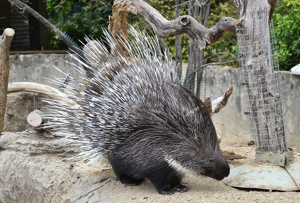 cotswolds-wildlife-park england porcupine
