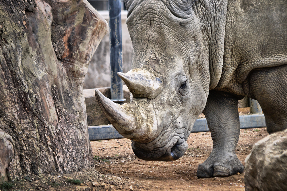 cotswolds-wildlife-park england rhino