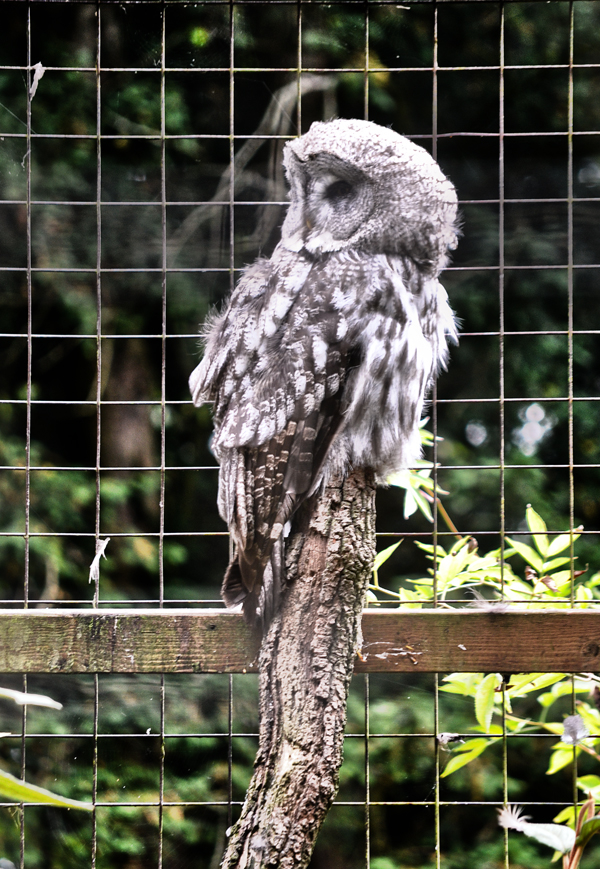 cotswolds-wildlife-park england owl