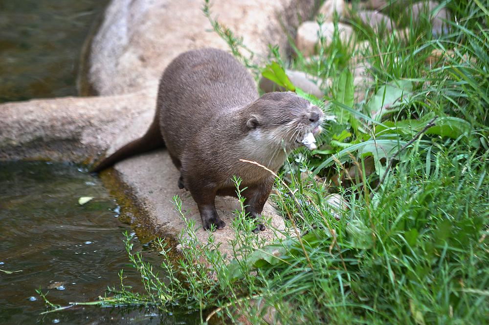 cotswolds-wildlife-park england otter
