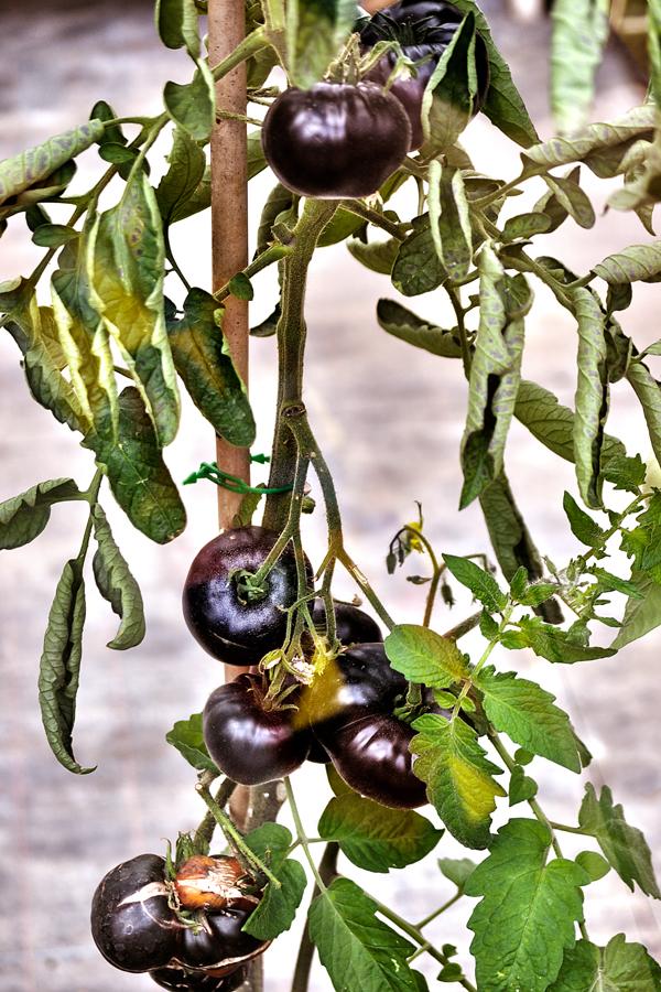 cotswolds tomato england
