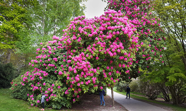 tilgate-park rhododendron crawley england mia
