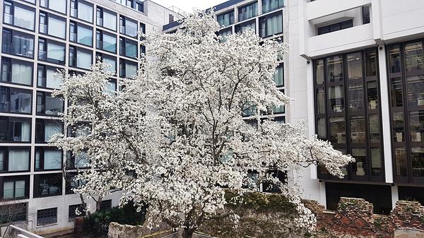 london england london-wall tree blossom