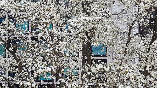 london england tree blossom