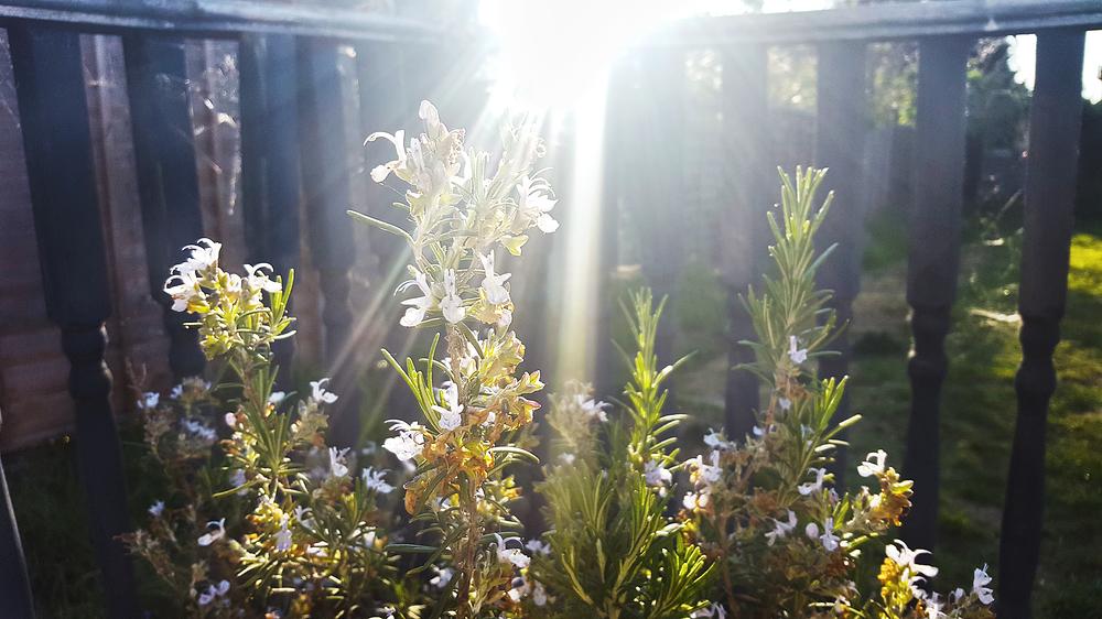 rosemary flower england lockdown worcester-park