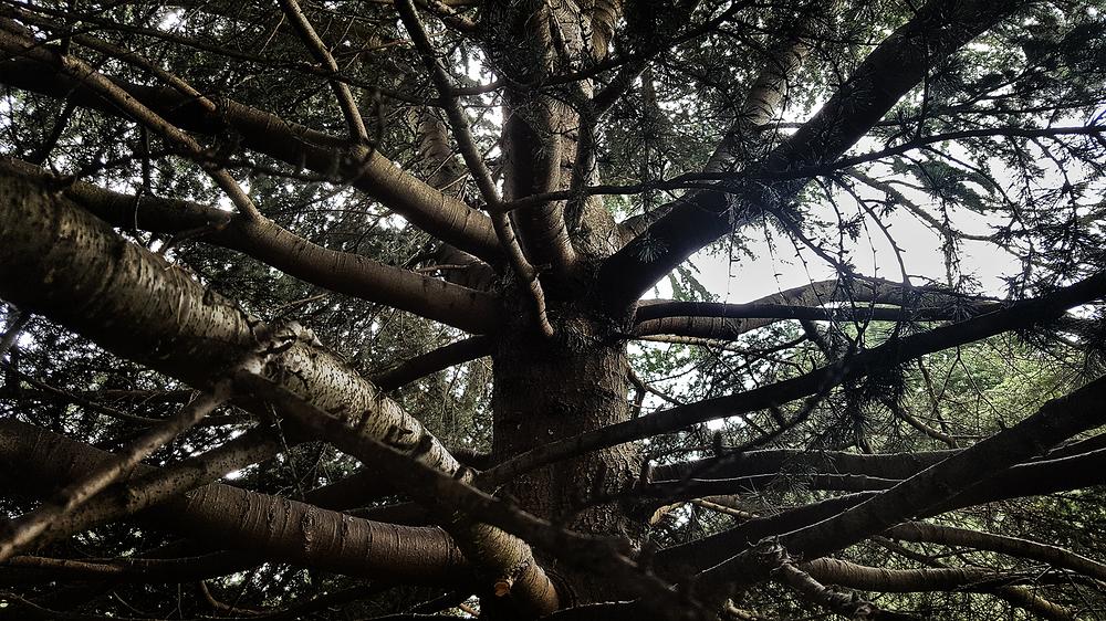 england lockdown kew-gardens london pine tree