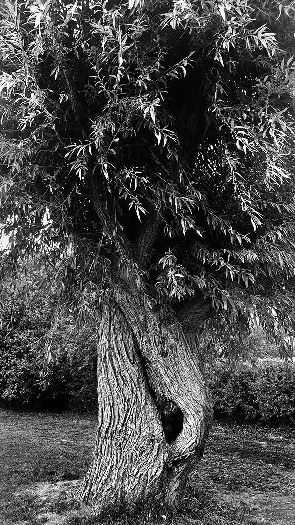 cheam-park cheam england tree