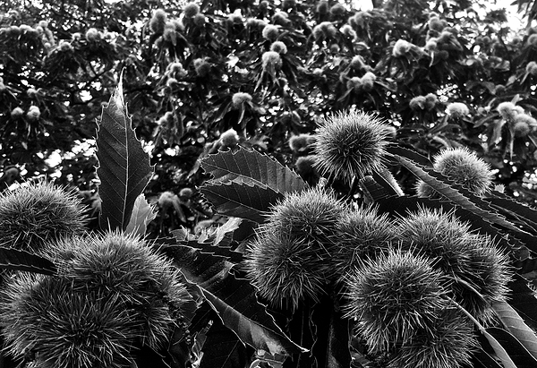 kew-gardens london england tree conker