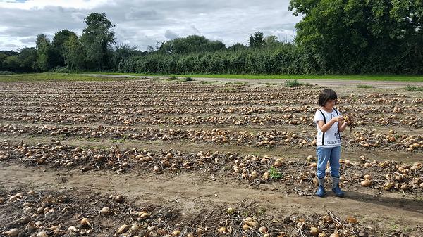 garsons-farm england farm field onion mia