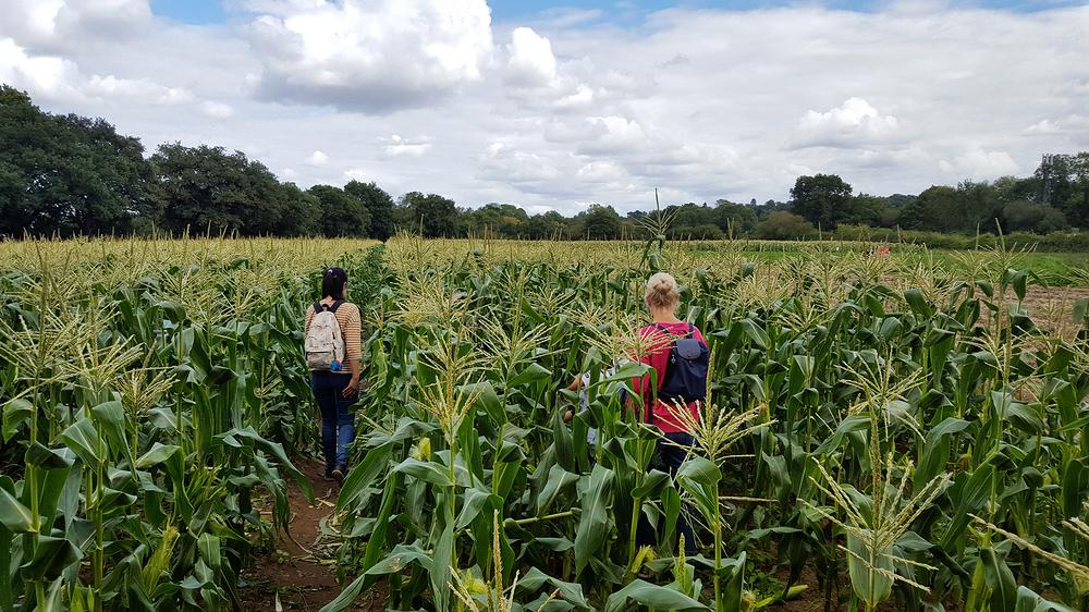 garsons-farm england farm field corn