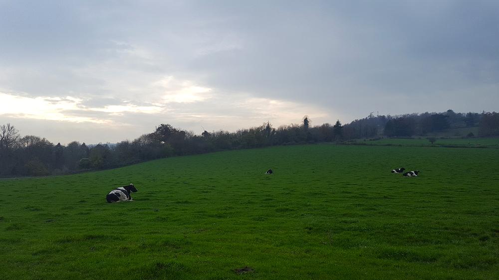 norbury-park england park cow