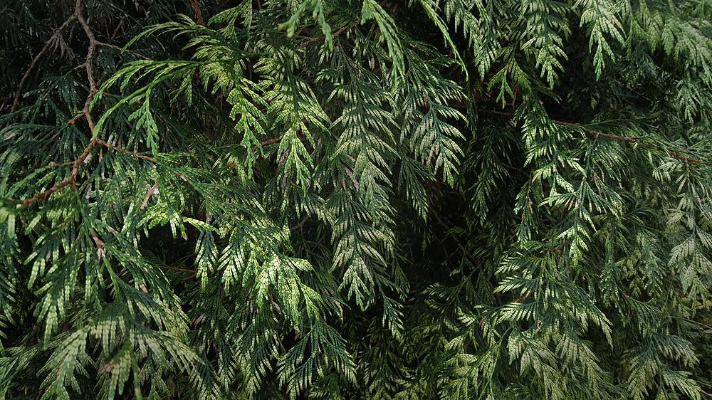england park ewell tree ewell-court fir