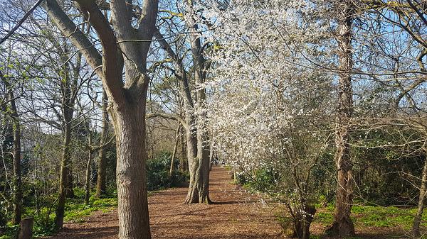 morden england tree blossom park morden-park