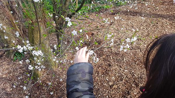 morden england tree blossom park mia morden-park