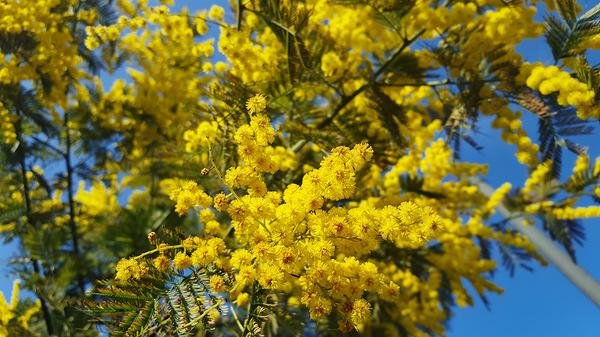 morden england tree flower mimosa