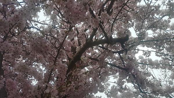 sutton england blossom tree