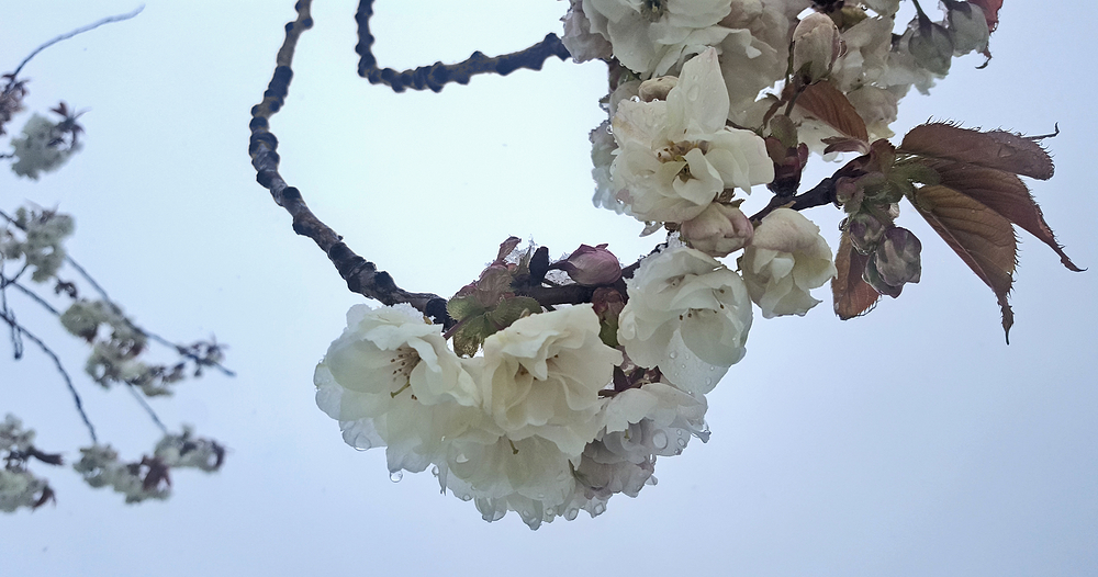 england snow sutton tree blossom