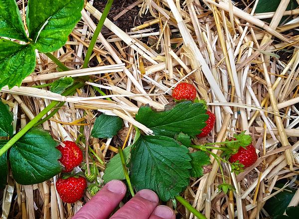 sutton england strawberry garden