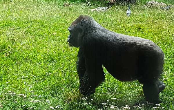 london-zoo london england gorilla