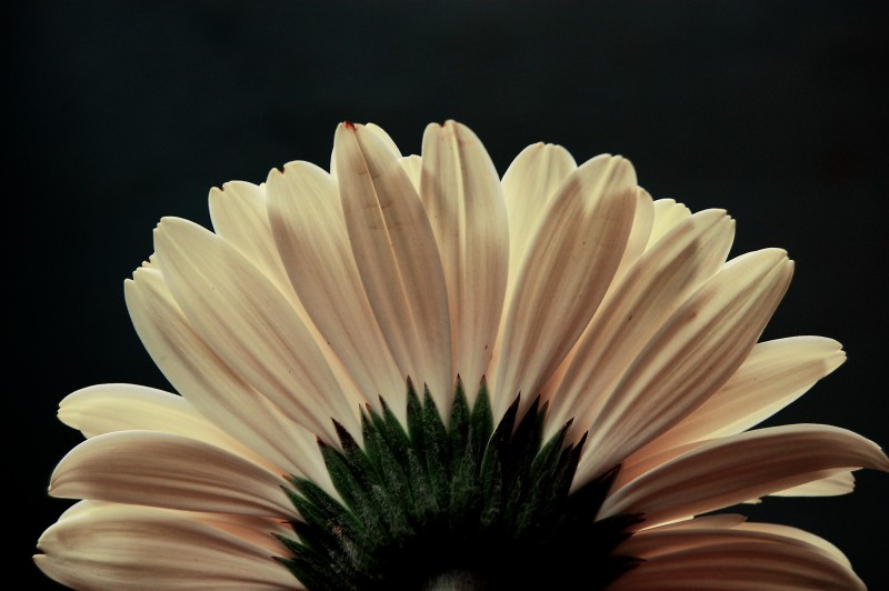 Petals in white