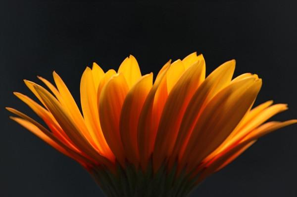 Petals of gold