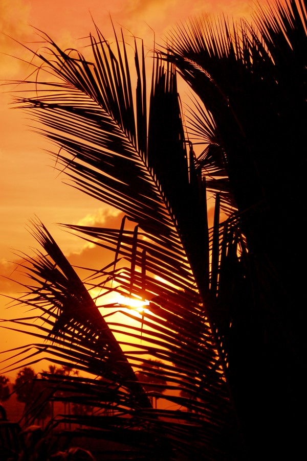 Blazing branches of the coconut tree!
