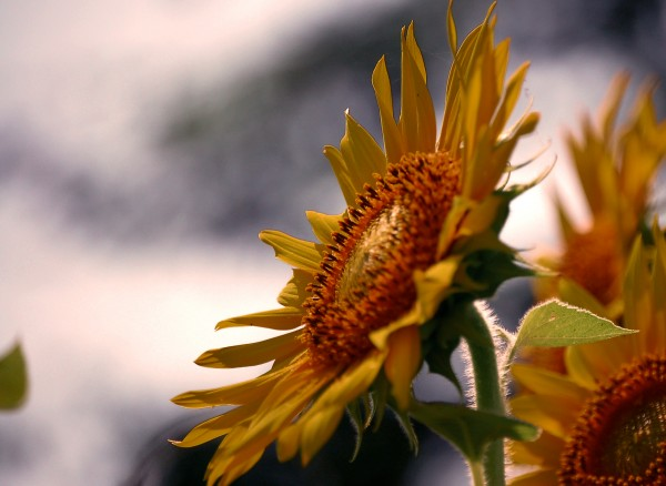 One of them at the Sunflower fields