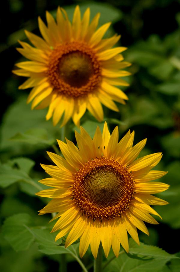 Sunflower farms at Thiruvallur