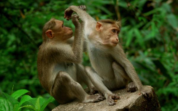 Monkeys of Charpa!