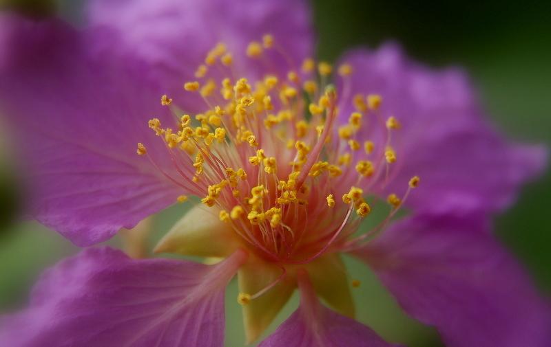Pollen of the wild