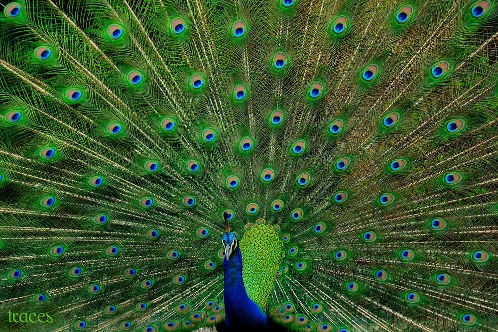 When 'Muruga' the peacock danced!