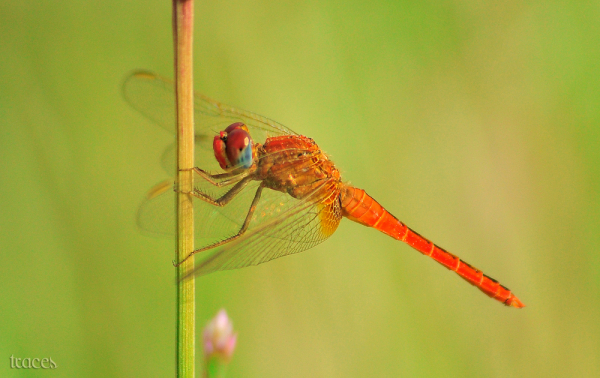 The shine of the Dragon fly!