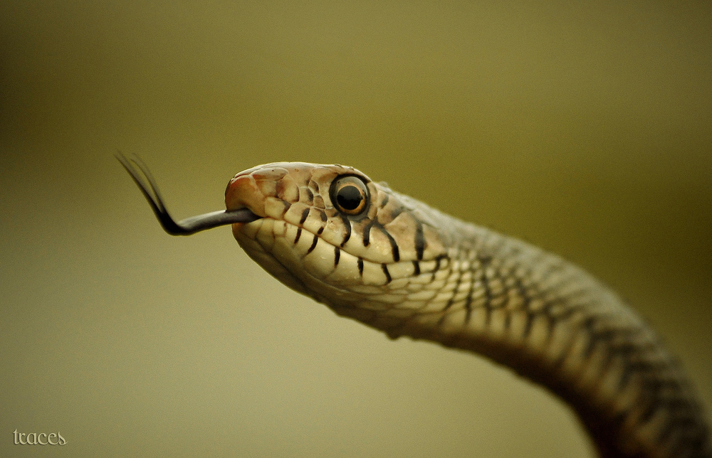 The hisss of the Rat snake!
