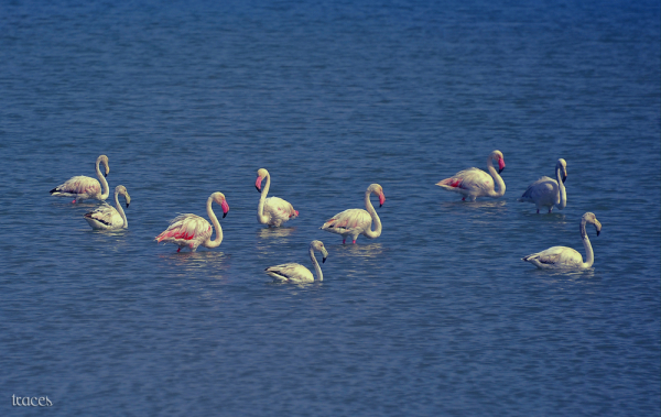 Silence of the Lesser Flamingo!