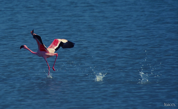 The take off of the lesser Flamingo!