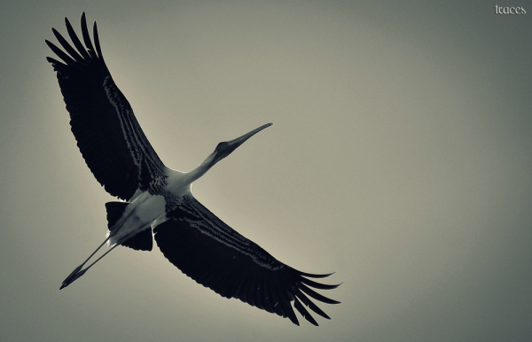 Flight of the Painted Stork
