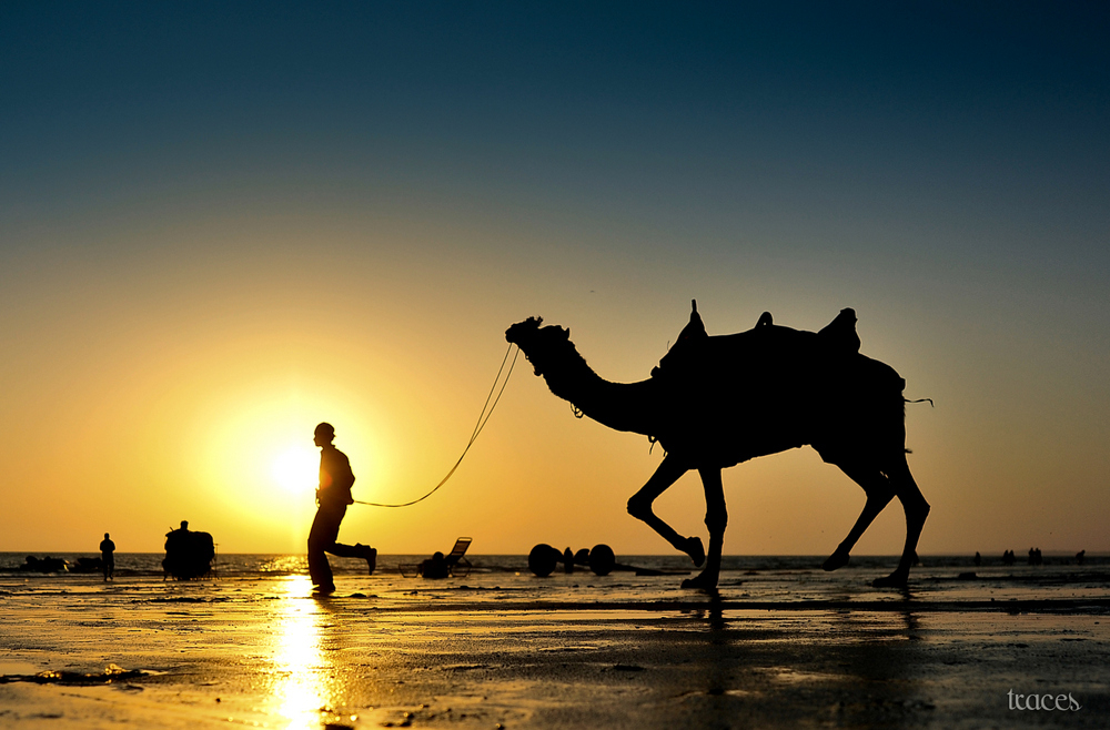 Camels on the shallow beaches of Gujarat