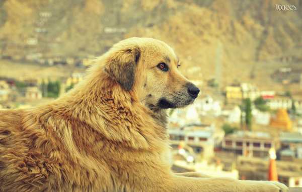The fluffy guy on top of Leh!