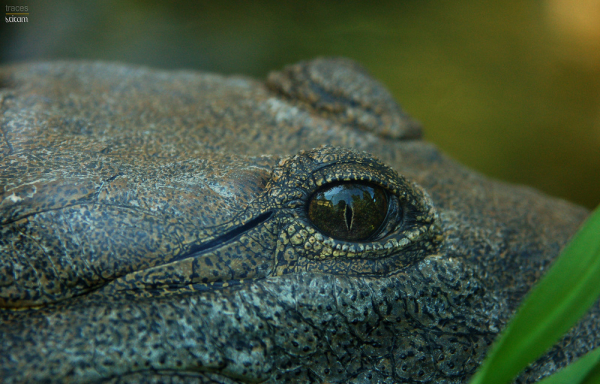 Eye of the Aligator