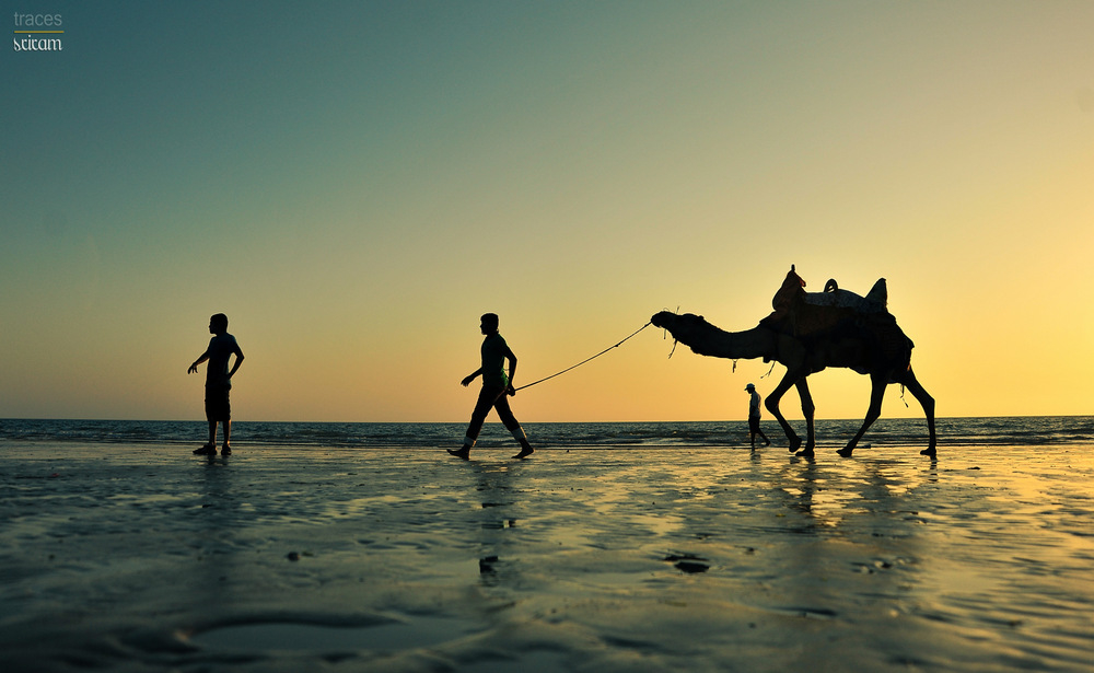 Camels at the coast