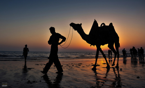 Camels and the sunset hues